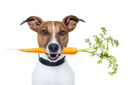 12810451 - dog eating carrot