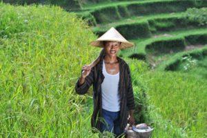 27108216 - traditional rice farmer