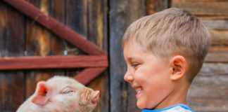 39483401 - boy with piglet