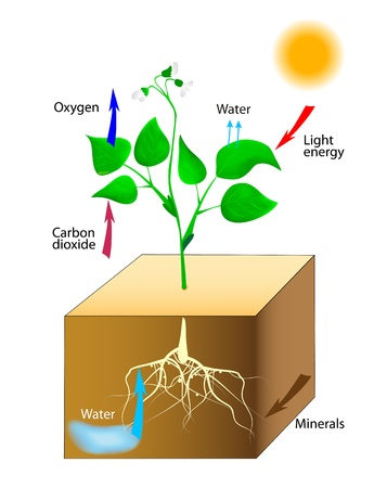 14965217 - oxygen producing plants vector schematic of photosynthesis in plants