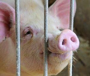 58954762 - Pig Behind Bars
