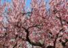 Capay Hills Almond Tree