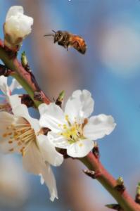 capay gills orchard bees